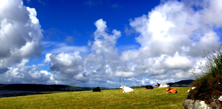 The Cows of Beara
